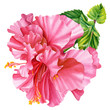 canvas print picture watercolor terry hibiscus on isolated white background