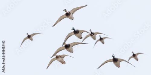 Flock of mallard ducks Fototapeta
