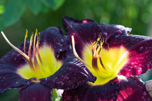 Close Up Of 2 Purple Daylilies With Yellow Green Throat