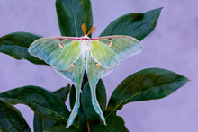Luna Moth With Wings Spread On...