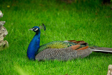 Blue Peacock On The Green Grass
