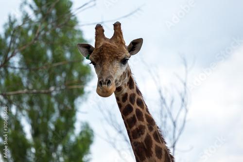 Giraffe head closeup Canvas Print