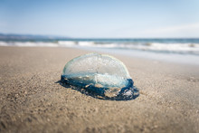 A Jellyfish On The Beach