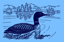 Common Loon Or Great Northern Diver Gavia Immer Swimming On A Lake, On A Blue Background. Editable In Layers