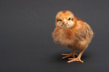 Angry Bird - Chick. Isolated O...