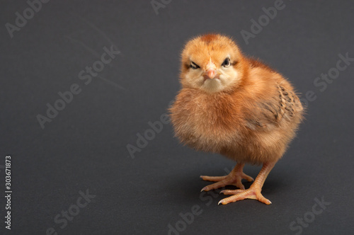 Tuinposter Kip Angry Bird - chick. isolated on black background