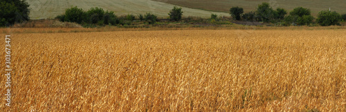 Obraz soybean field in autumn harvest time - fototapety do salonu