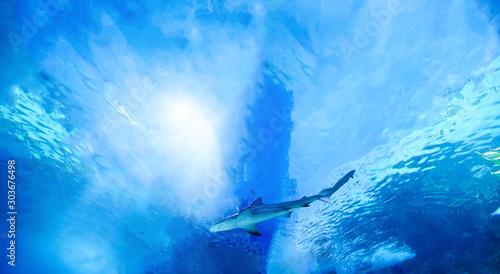 Photo The great white shark in the big blue