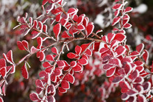 Branch Of Barberry With Red Fr...