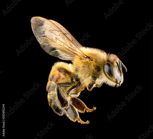 Bee on a black background