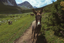 A Donkey In The Mountains, An Animal In The Zone Of Alpine Meadows