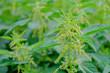 Flowering and ripening canabis bush close-up. Green hemp bush in field.