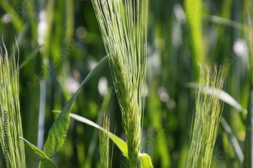 Obraz na plátně  A young green ear of barley ( hordeum vulgare ) on a corn field in spring