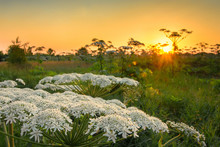Blossoming Hogweed On A Sunset...