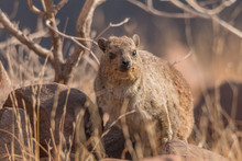Rock Hyrax On A Stone In The Afternoon Sun, Grootberg, Damaraland, Namibia, Africa