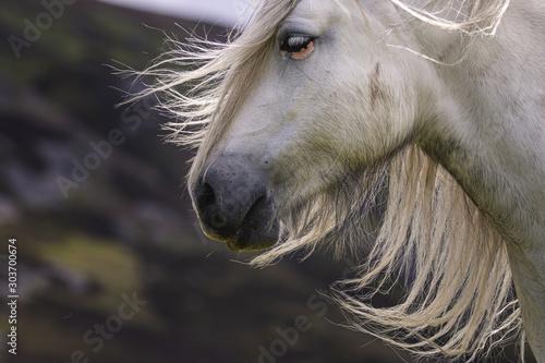 Fototapety, obrazy: Halbwilde Highland Ponys in den schottischen Highlands
