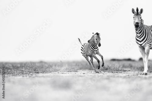 Fond de hotte en verre imprimé Zebra galloping Foal
