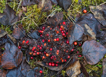 Pile Of Bear Scat With Cranberries In Fall.