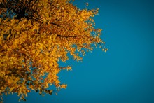 Low Angle Shot Of A Thick Tree With Yellow Leaves Under The Beautiful Blue Sky