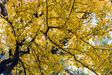 Ancient Ginkgo Tree In Autumn