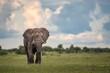 canvas print picture - Elephant