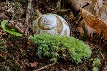 Snail Shell On The Forest Floor