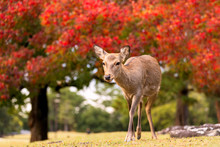 Wildlife Fawn Deer In Nature During Fall Season With Colorful Trees In Background, Nara Park Japan