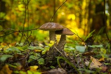 Closeup Shot Of Two Mushrooms Surrounded By Leaves In The Middle Of The Forest