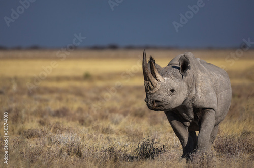 Black Rhino Canvas Print