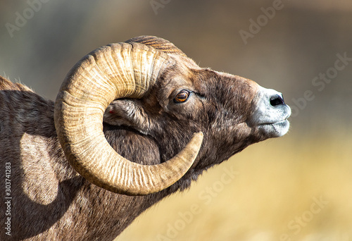 Big Horn Sheep - 303741283