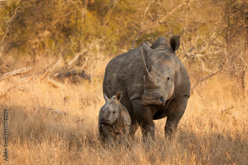 Fototapeta White Rhinoceros and Baby