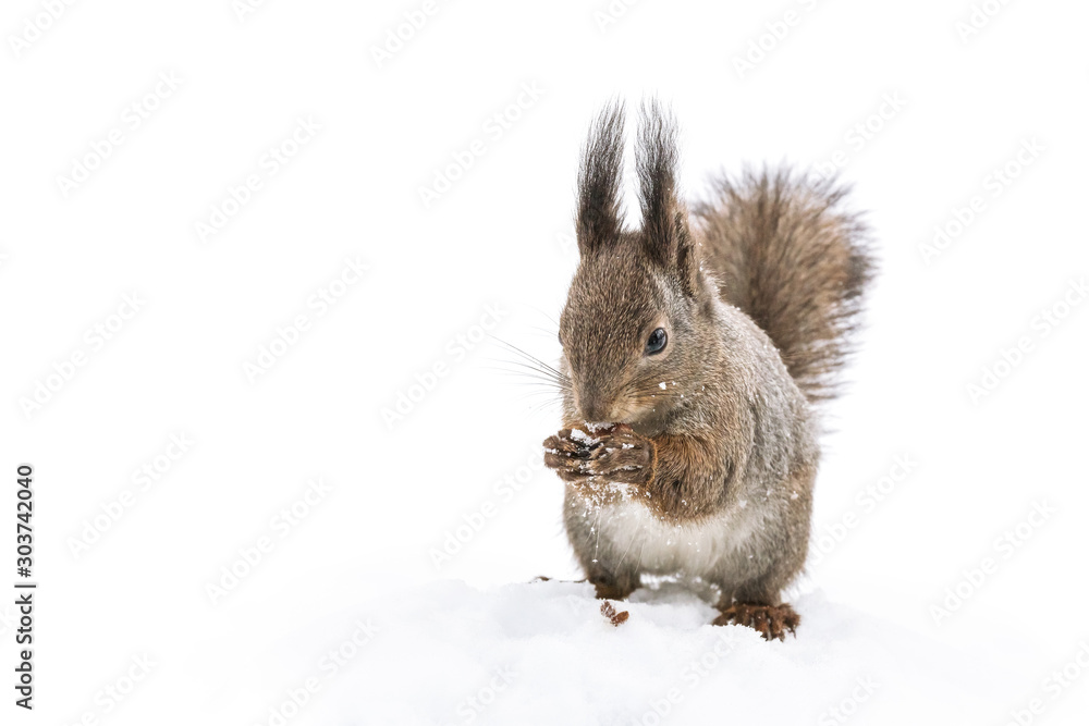 Fototapety, obrazy: little red squirrel sitting in white snow in park and eating nut, closeup view