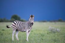 Stormy Zebra