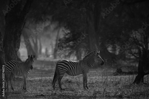 Tuinposter Zebra Black and white zebta