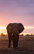 canvas print picture - Elephant in the Serengeti