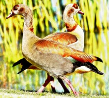 Close Up Of A Pair Egyptian Geese On A Pond