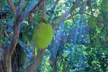 Delicious Fruit Jackfruit  On Tree