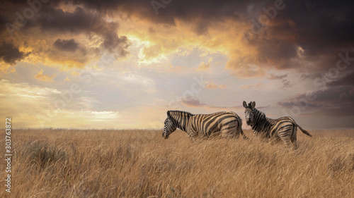 Aluminium Prints Zebra two Lonely Zebras