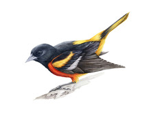 Baltimore Oriole Watercolor Illustration. Beautiful Hand Drawn Close Up Song Bird Of Black, Yellow And Orange Colors. American Oriole Isolated On White Background.