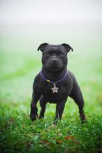 Staffordshire Bull Terrier Au...