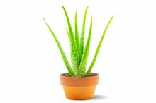 Fresh Green Aloe Vera Plant In...