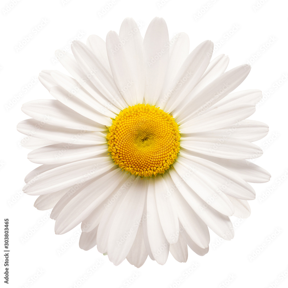 Fototapeta One white daisy flower isolated on white background. Flat lay, top view. Floral pattern, object