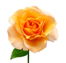 Orange Rose Flower Isolated On...