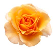 Orange Rose Flower Isolated On...