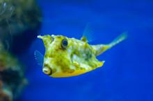 Yellow Fish Boxfish, Longhorn ...