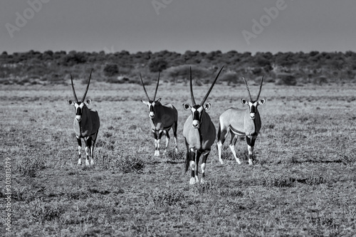 Photo Oryx at Attention4