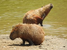 Two Capybaras On A Hot Summer ...