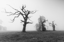 Old Oaks In Rogalin On A Foggy...