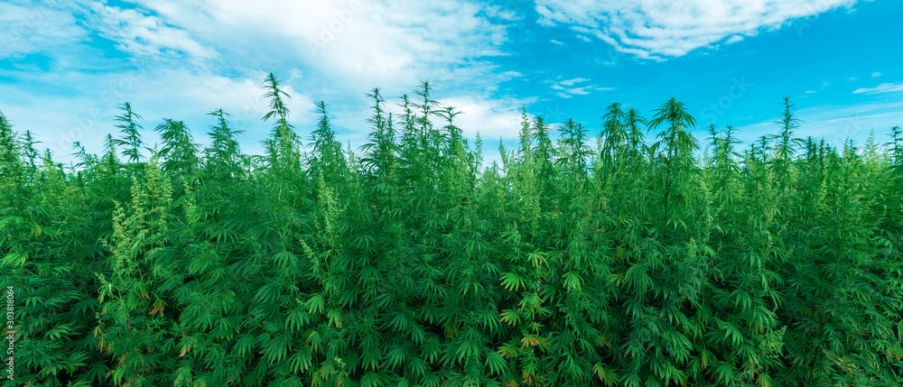 Fototapety, obrazy: Cultivated industrial hemp farm field
