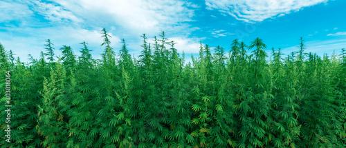 Fotobehang Dinosaurs Cultivated industrial hemp farm field